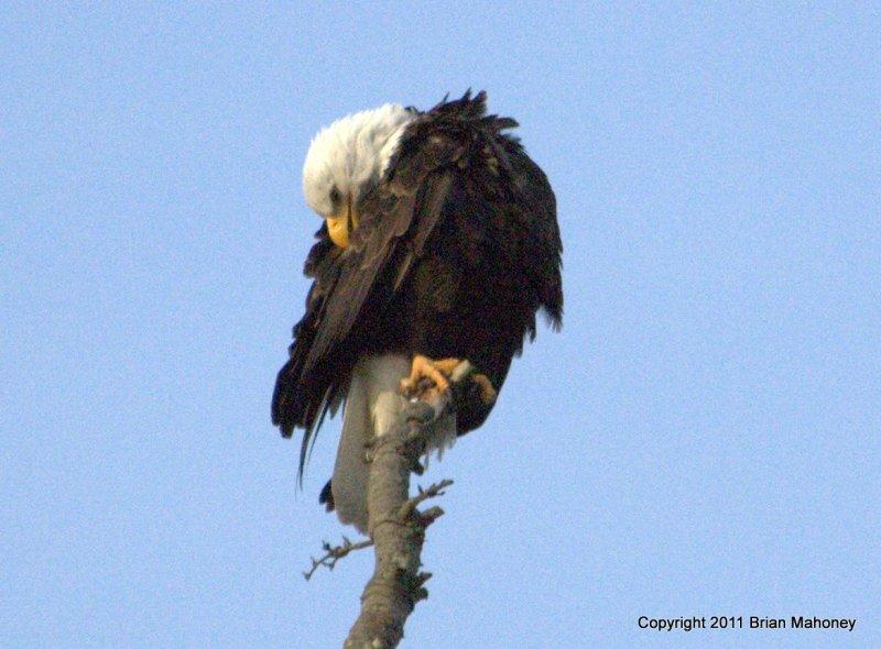 Eagle on pole  card # 022