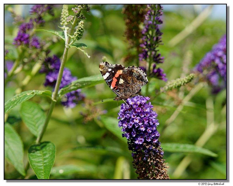 butterfly-4681-sm.JPG