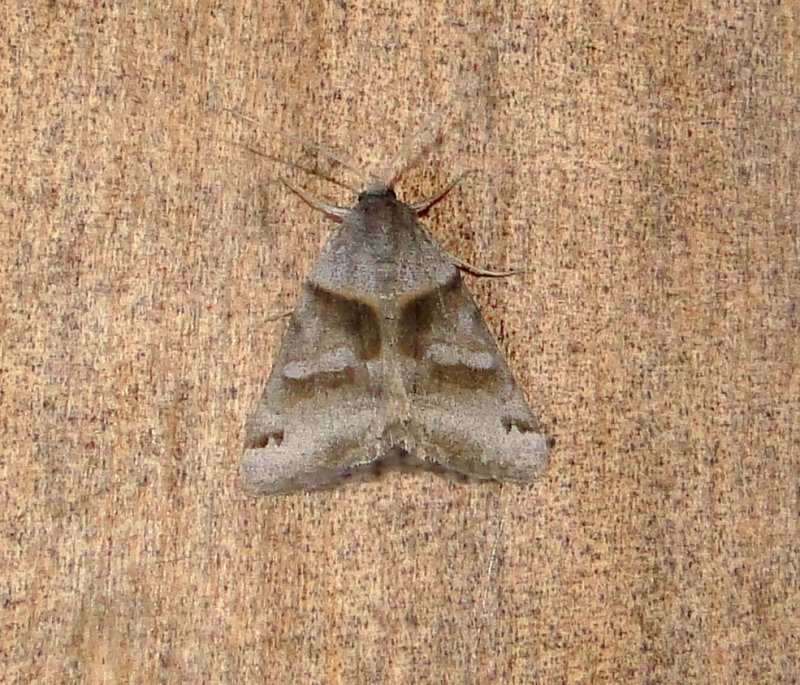 8738 – Caenurgina crassiuscula – Clover Looper Moth 4-26-2011 Athol ma.JPG