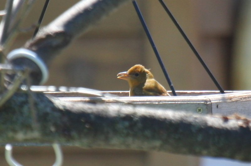 Summer Tanager - WI
