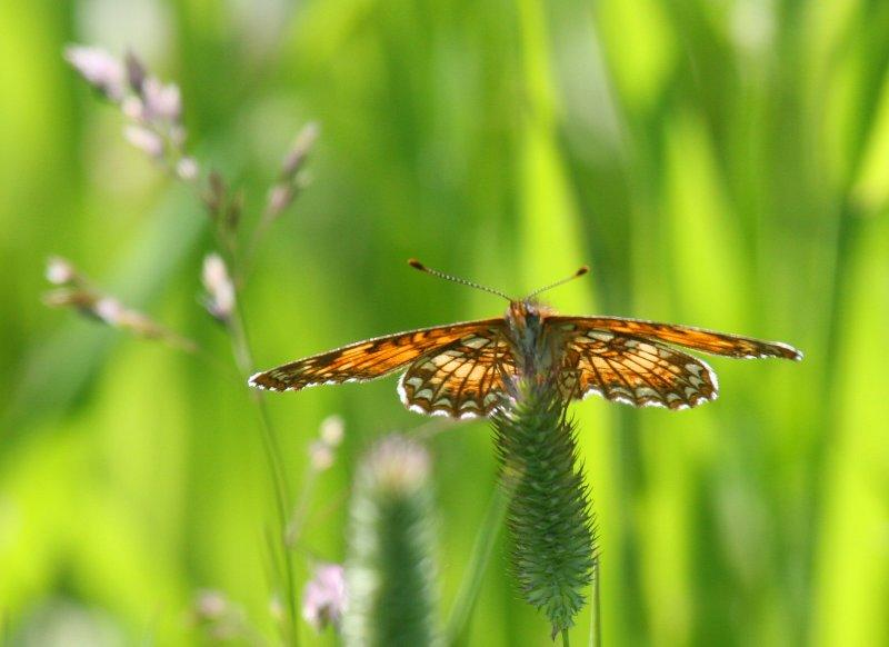 Harriss Checkerspot