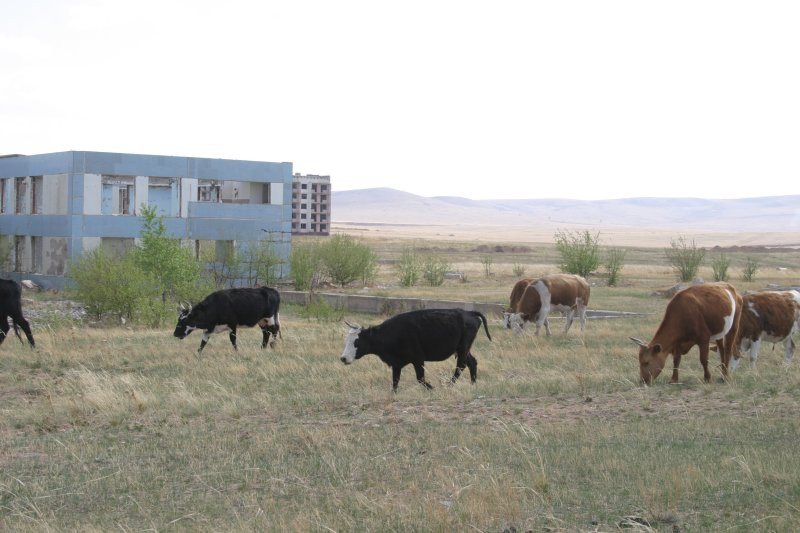 Cows roam where people once lived