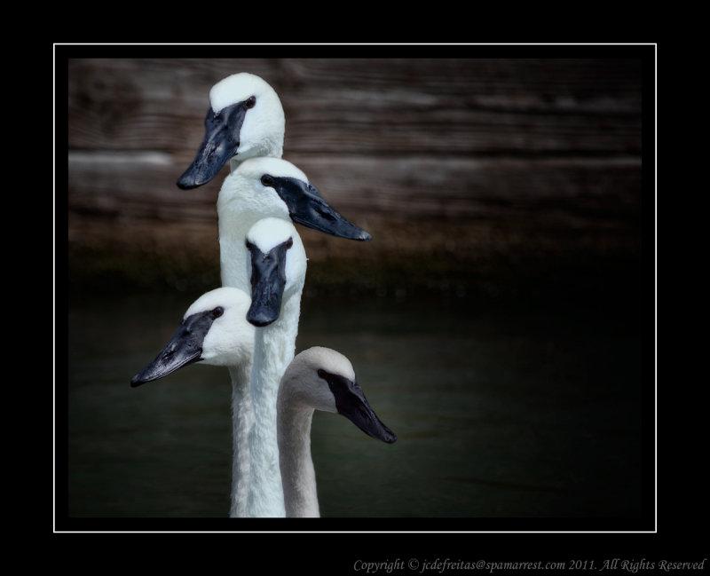 2011 - Swans - Scarborough Bluffs
