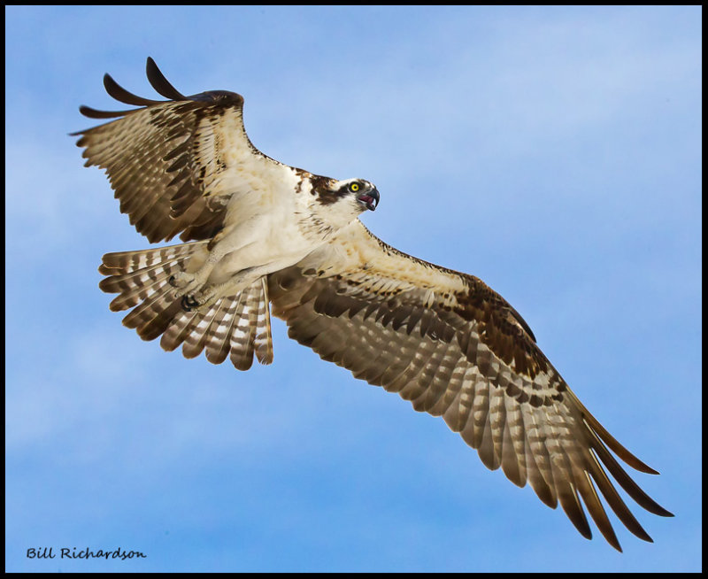 osprey in flight2.jpg
