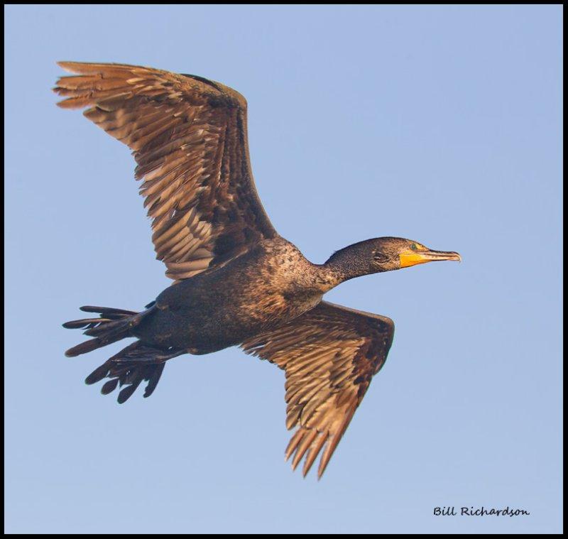 cormorant in flight.jpg