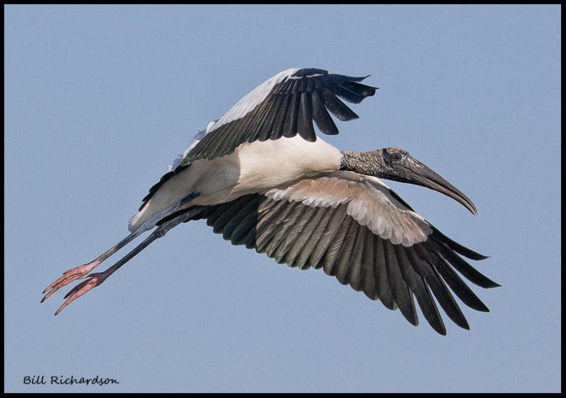 wood stork flying.jpg