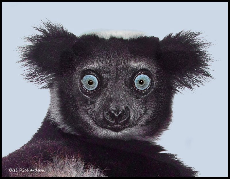 Indri Lemur close crop.jpg