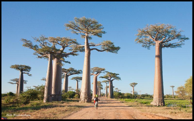 avenue of the baobobs.jpg