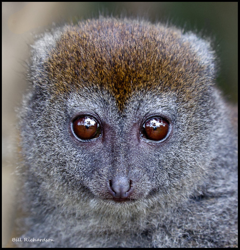 bamboo lemur portrait.jpg