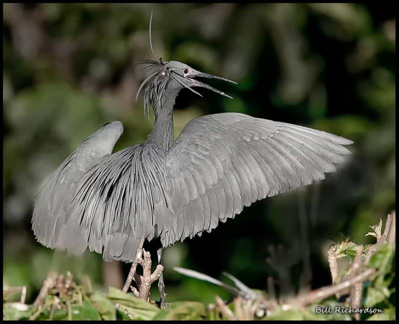 black egret.jpg