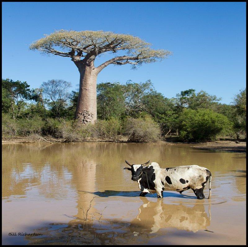 baobob pond w zeeboo.jpg