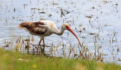 Ibis, Pelican Island National Wildlife Refuge