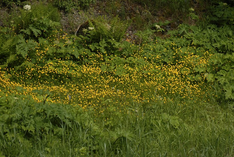Pacific Buttercups