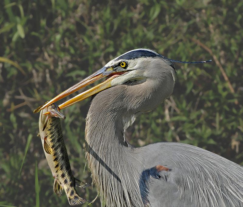 Great Blue Heron and Florida Gar