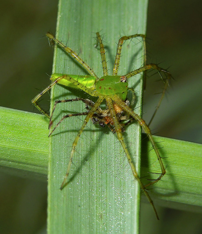 Green Lynx Spider with Another Spider as Prey