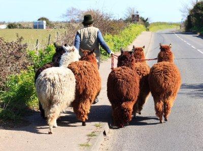 The Alpaca Trail