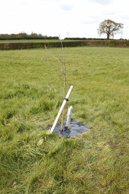 Young Oak Tree Planted to Commemorate the Queens Diamond Jubilee
