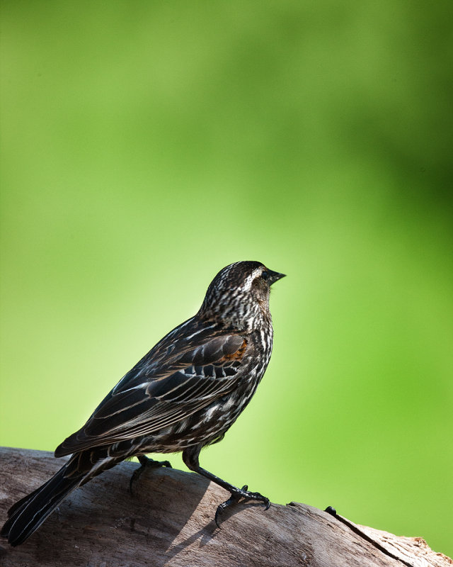 Red Winged Blackbird-Female