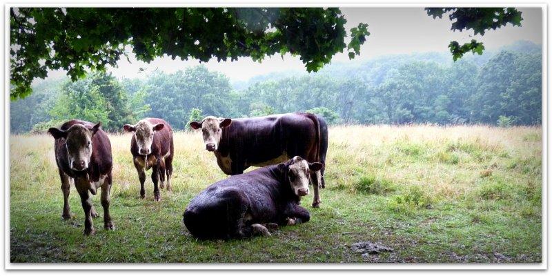 bovine beauties.