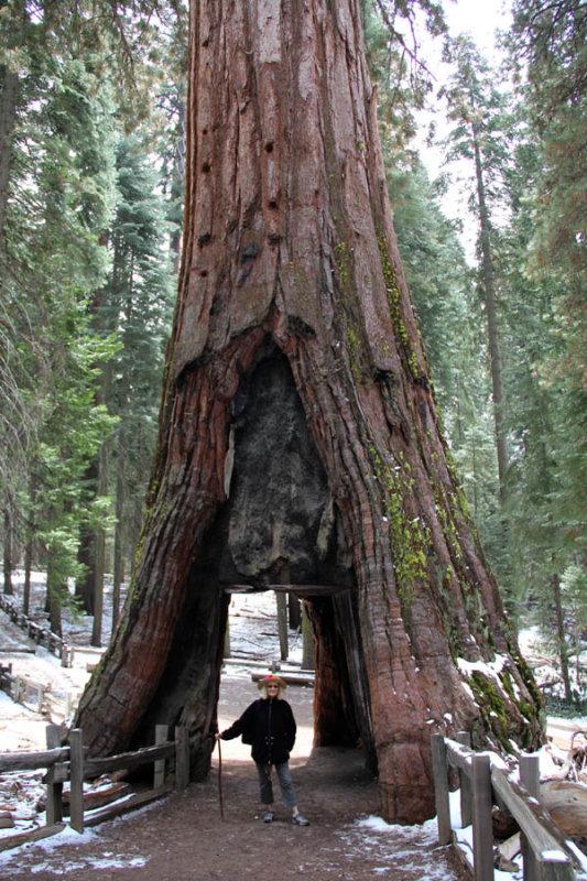 Sequioa at Yosemite