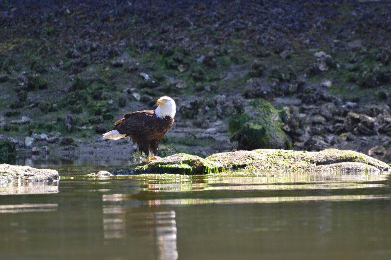 Eagle guarding salmon