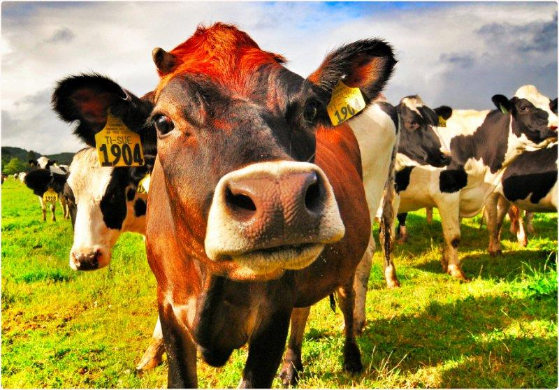 The Case of the Curious Cow