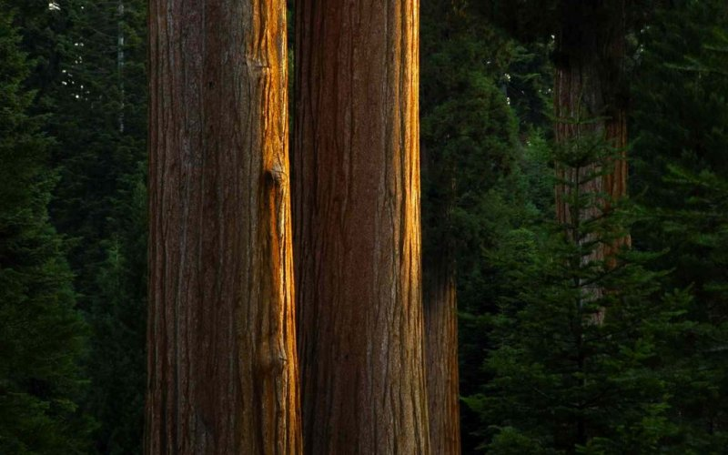 Sequoia Dawn