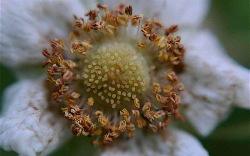 Thimbleberry Blossom