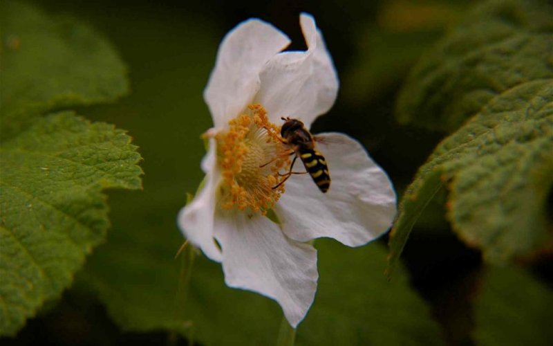Bee on a Thimbleberry Blossom