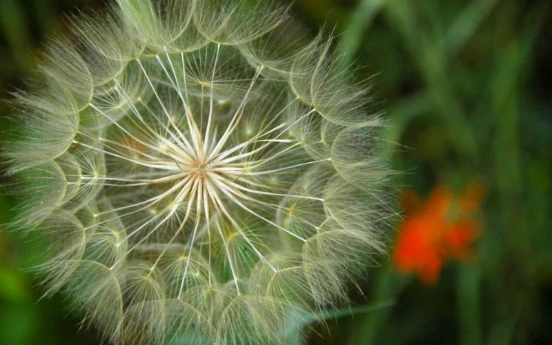 Dandilion and Indian Painbrush