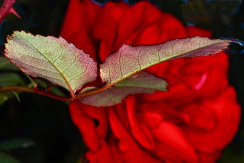 A Christmas Rose