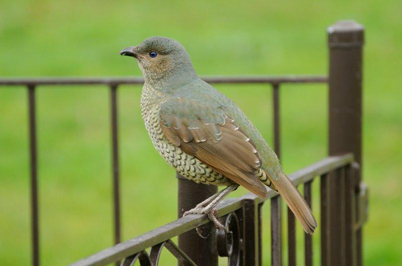 Female Satin Bower Bird - through the window