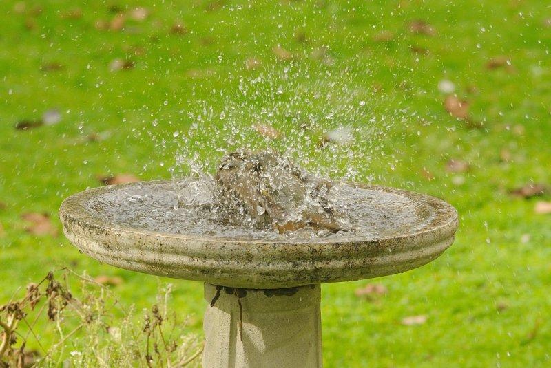 Satin Bower Bird - making a splash in the bath