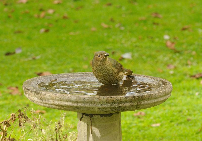 Satin Bower Bird = bath time on a winters day.