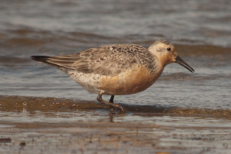 Red Knot plum island sandy point check out the serrated bill