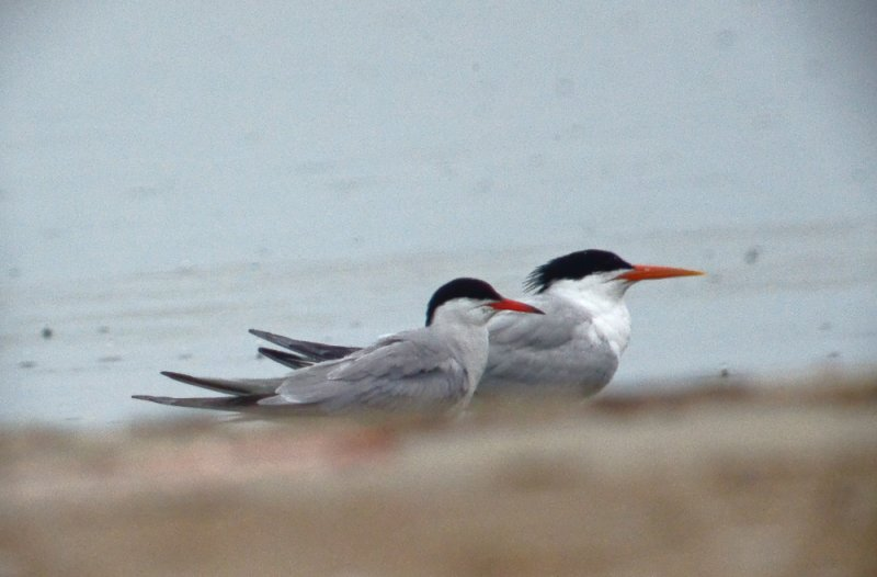 elegant_tern sandy point plum island ma