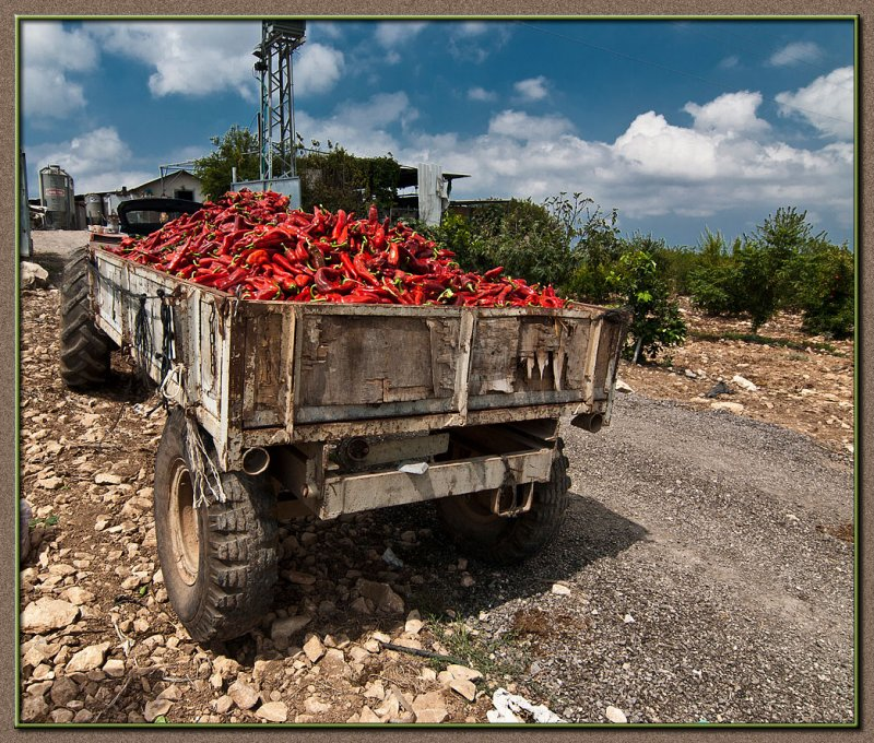 Red hot Chili Peppers picking season