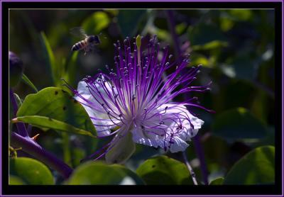 A purple bee