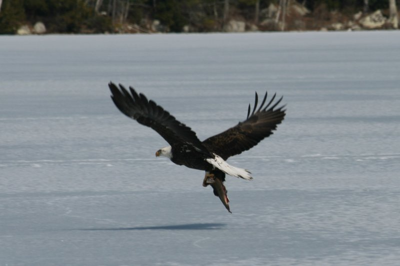 Eagle at Manning Lake - March 2010