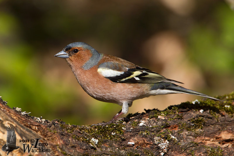 Adult male Common Chaffinch (ssp. <i>coelebs</i>)