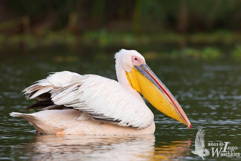 Adult Great White Pelican in breeding plumage