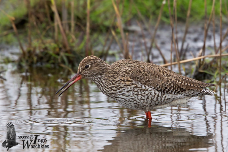 Adult Common Redshank in breeding plumage