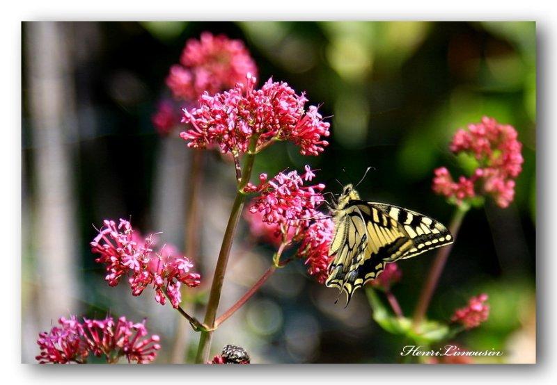 HL_Fb_MG_4985 papillon
