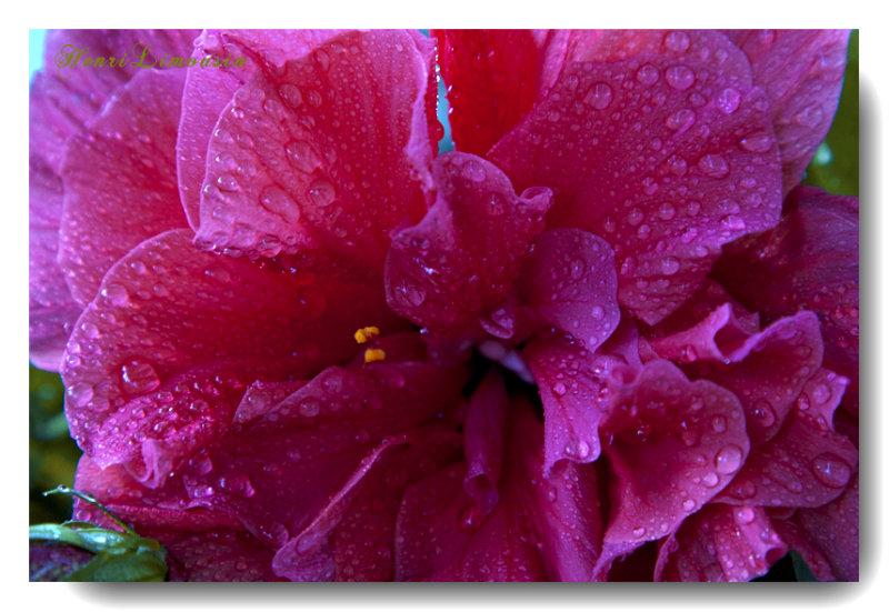 _MG_6949 ibiscus rosee.jpg