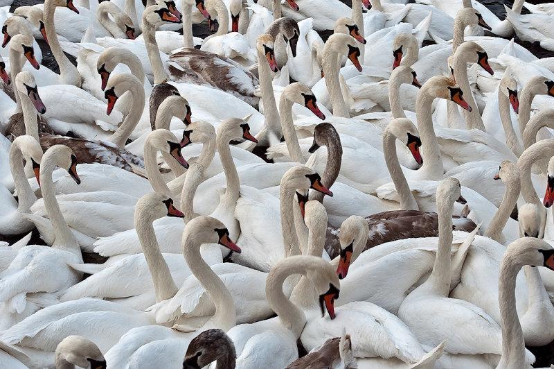 The Swans on Vistula River