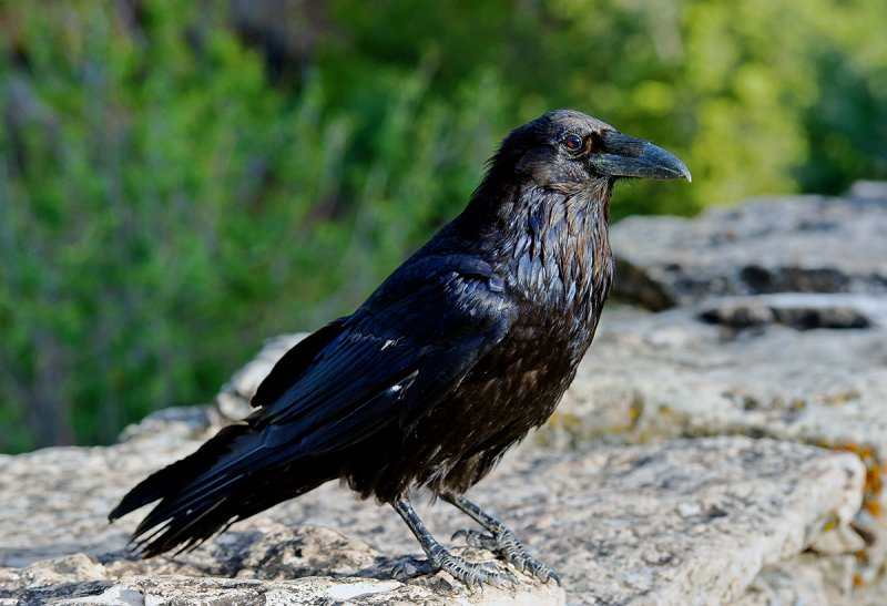 The Raven of Grand Canyon