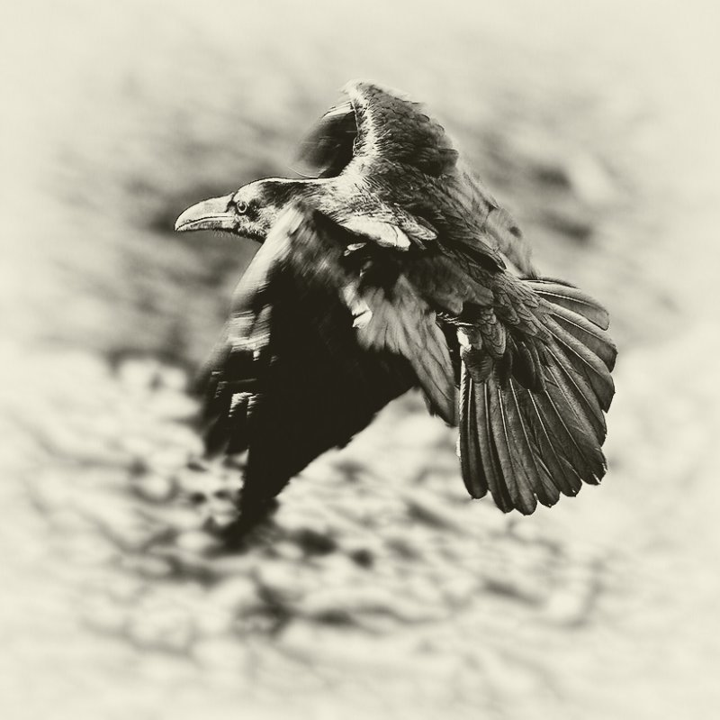 Raven of Death Valley