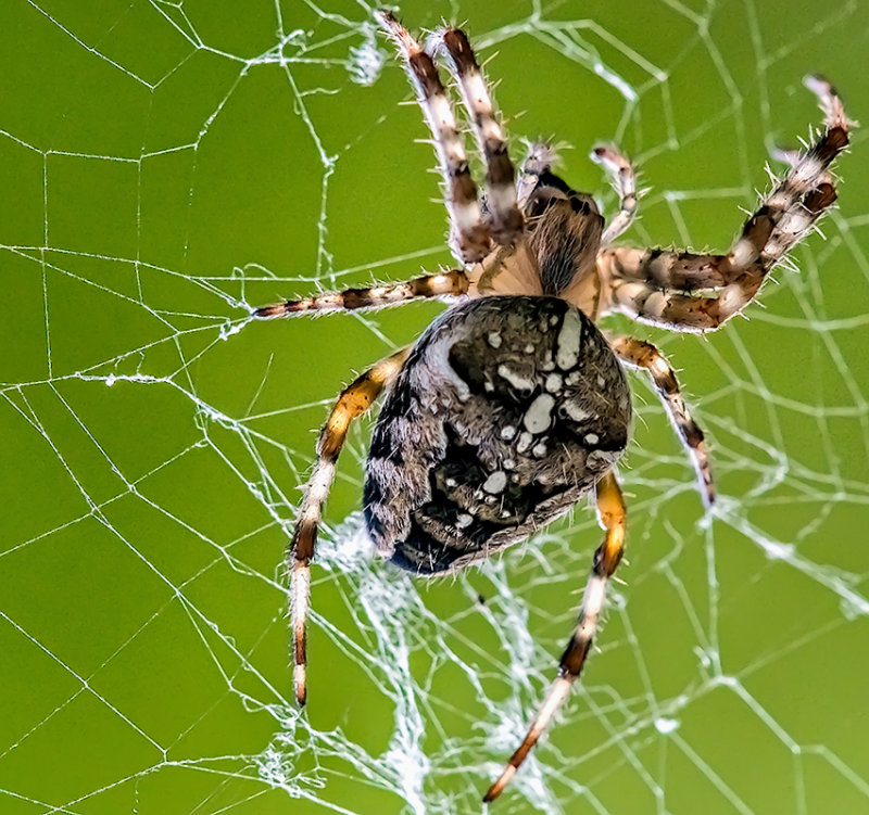 The  Cross Spider