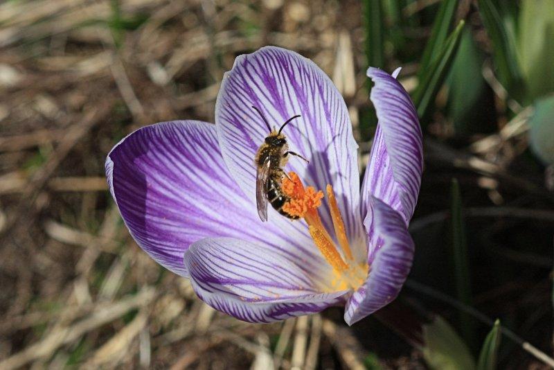 Bee and Crocus Macro<BR>April 7, 2011