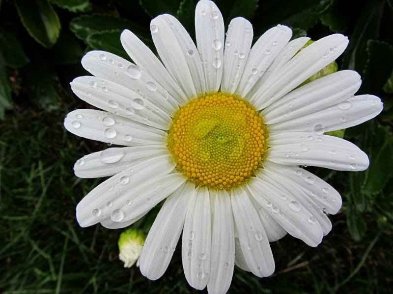 Waterdrops on Daisy<BR>September 28, 2011
